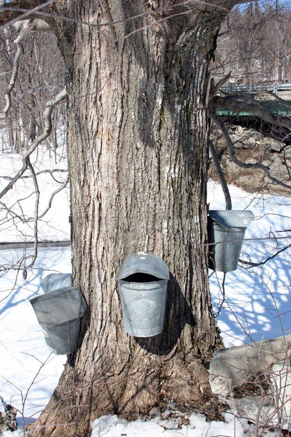 Ahorn-Zuckerbaum- und -sammlungseimer stockfoto