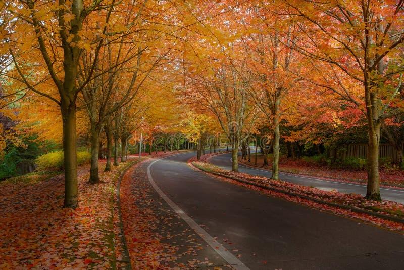 Ahornbäume in den Fall-Farben an der Vorstadt-USA-Nachbarschafts-Straße stockbilder