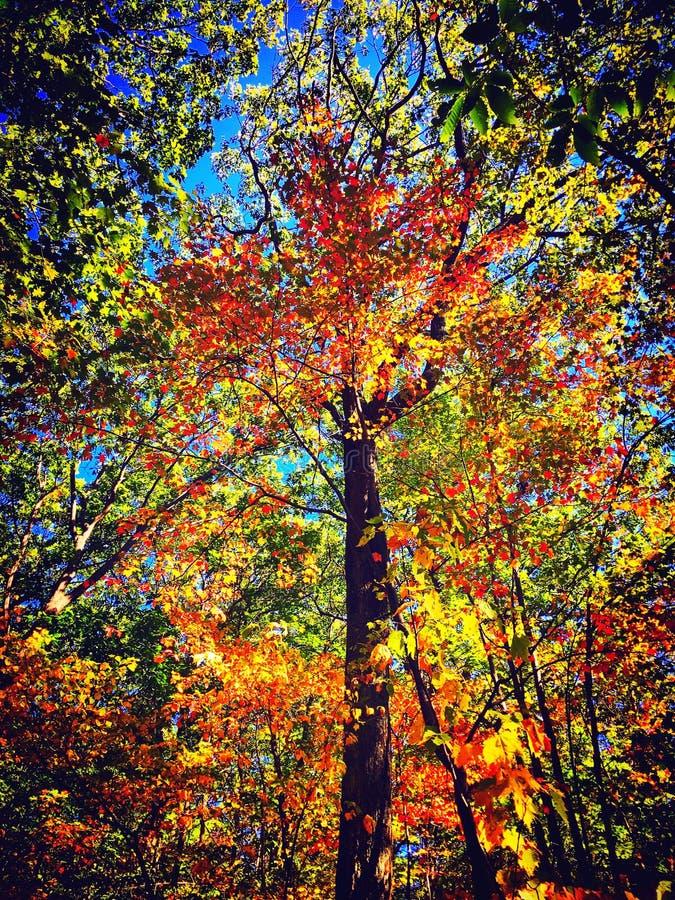 Ahornbäume im Herbst Connecticut stockfotografie