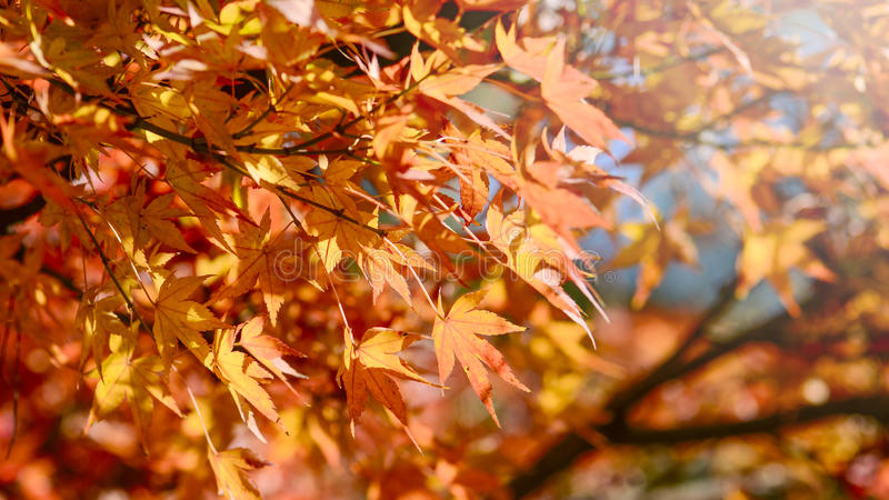 Ahornbaum-Garten im Herbst lizenzfreie stockfotografie