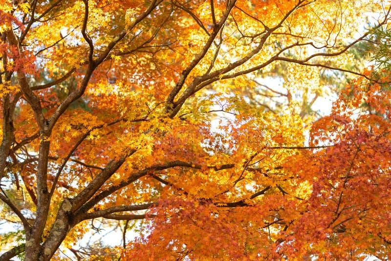 Ahornblätter ändern Farbe Vom Grün zum sich gelb zu färben, bis es erreicht lizenzfreie stockbilder