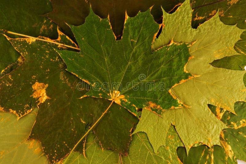 Ahornblätter stockfoto