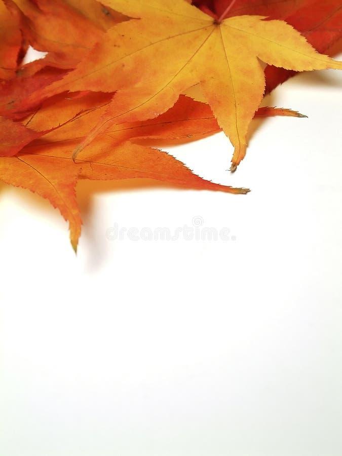 Ahornblätter stockfotos