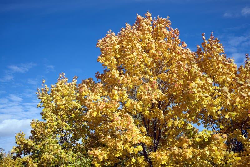 Ahornblätter auf Bäumen im Herbst über blauem Himmel lizenzfreie stockfotos
