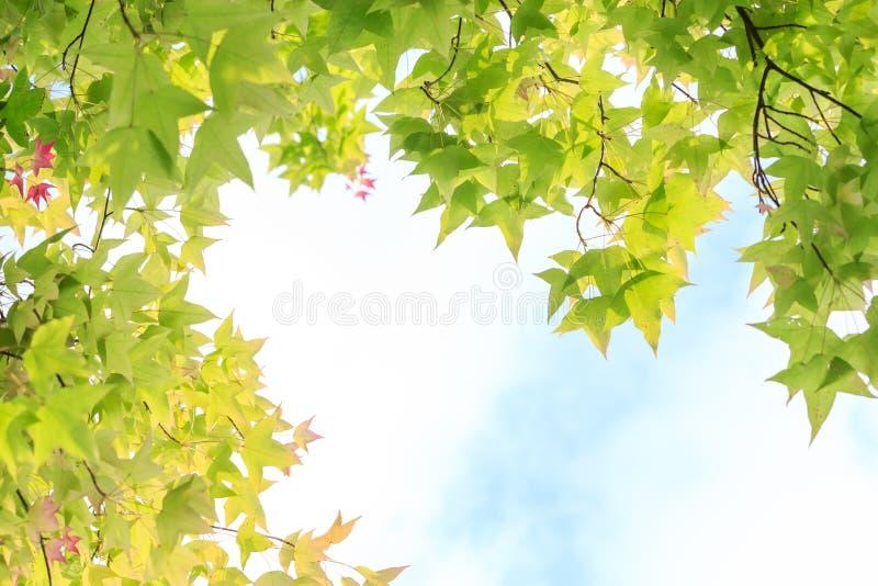Ahornblätter für Hintergrund stockfotos