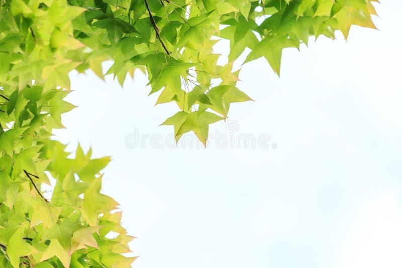 Ahornblätter für Hintergrund, lizenzfreie stockfotos