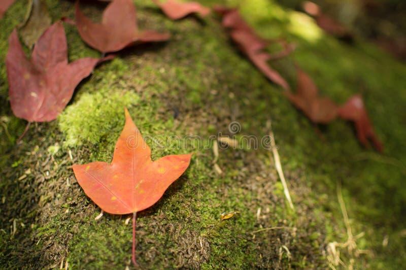 Ahornblätter im Wasserfall lizenzfreies stockbild