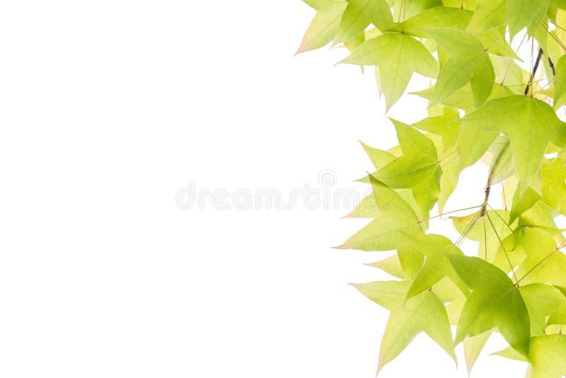 Ahornblätter lokalisiert auf weißem Hintergrund stockfotografie