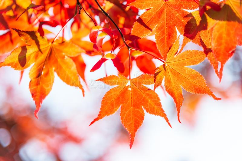Ahornblatt im Herbst stockfotos