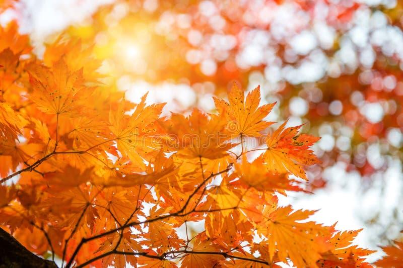 Ahornblatt im Herbst lizenzfreies stockbild