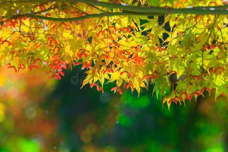 Ahornblatt im Herbst lizenzfreie stockfotografie
