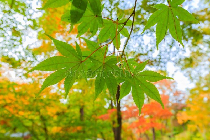 Ahornblatt im Herbst lizenzfreies stockfoto