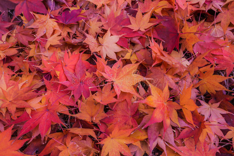 Ahornblatt im Herbst lizenzfreie stockfotos
