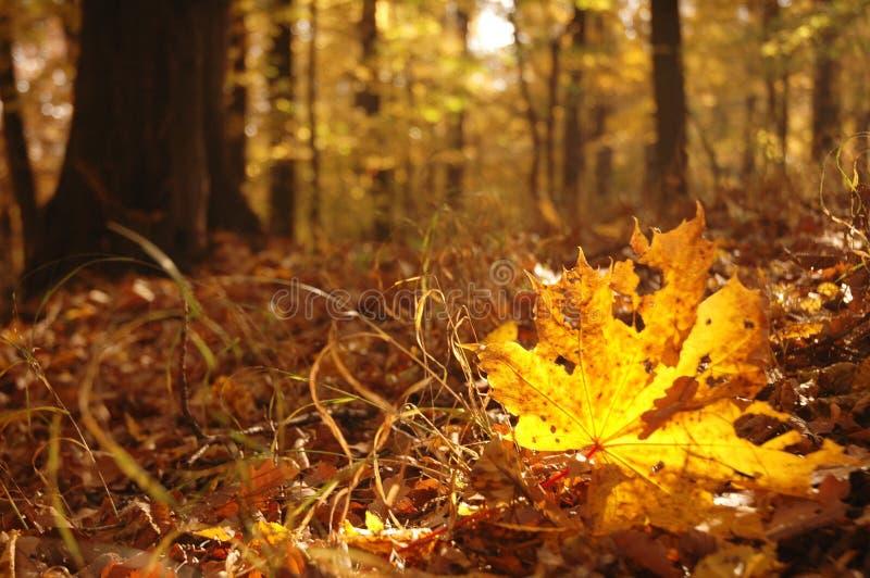 Ahornblatt im Herbstwald stockfotografie