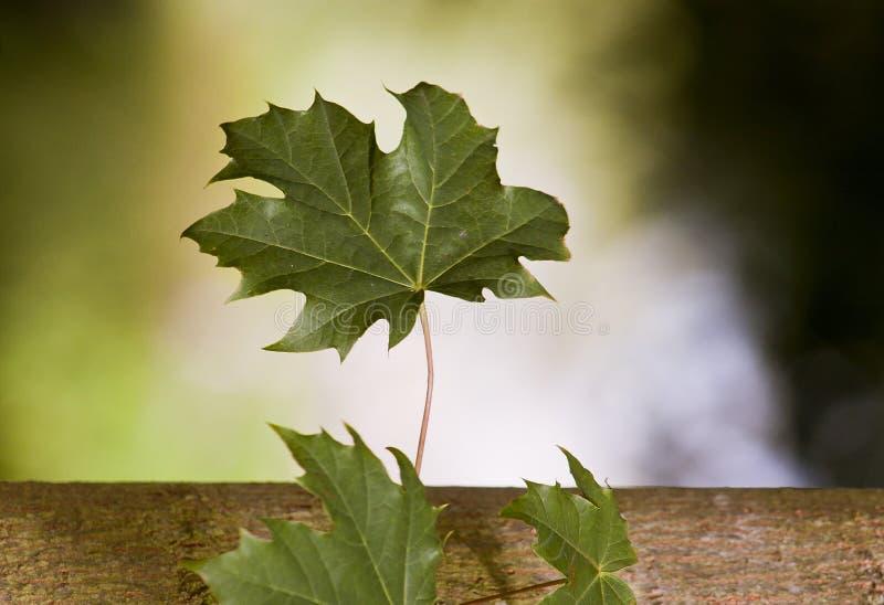 Ahornblatt im Sommer stockfoto