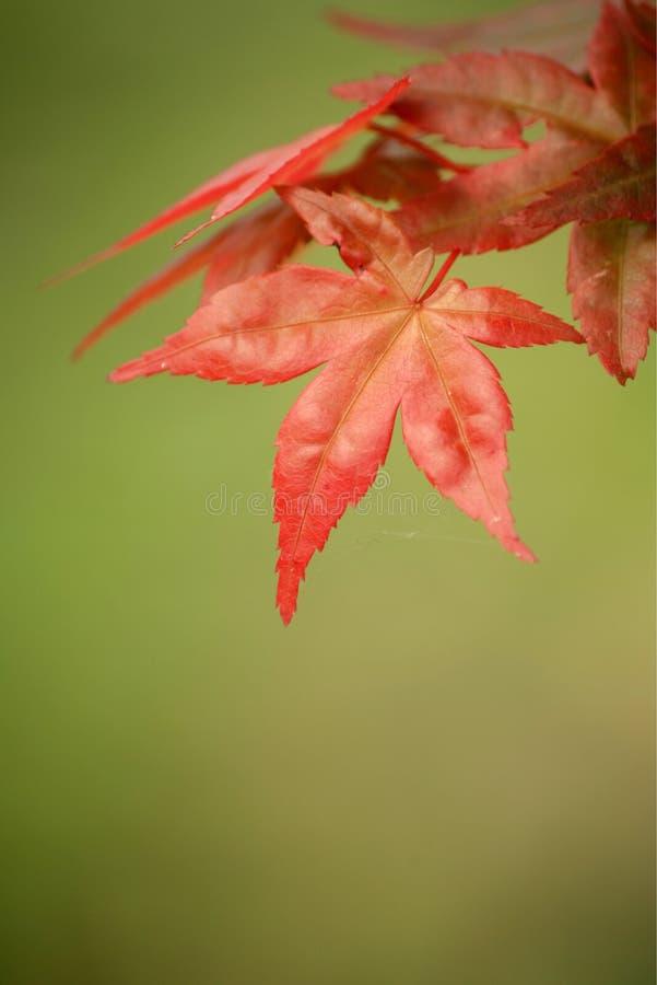 Ahornholz stockbild