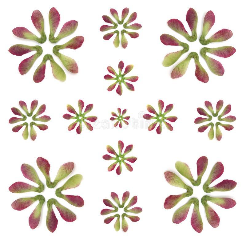 Ahornholz-Baum-Flügel-Muster lizenzfreie stockfotos
