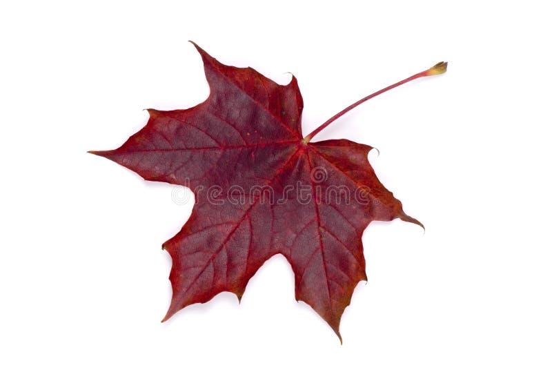 Ahornholz-Herbst-Blatt stockbild