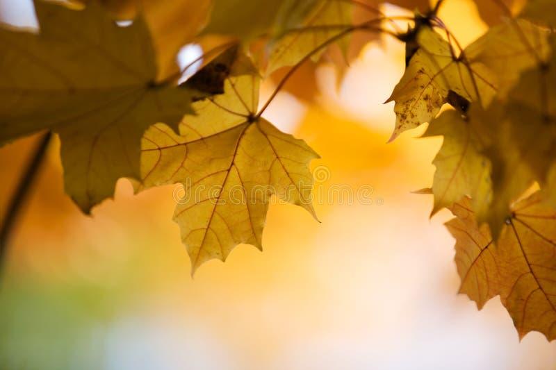 Ahornholz im Herbst stockfoto