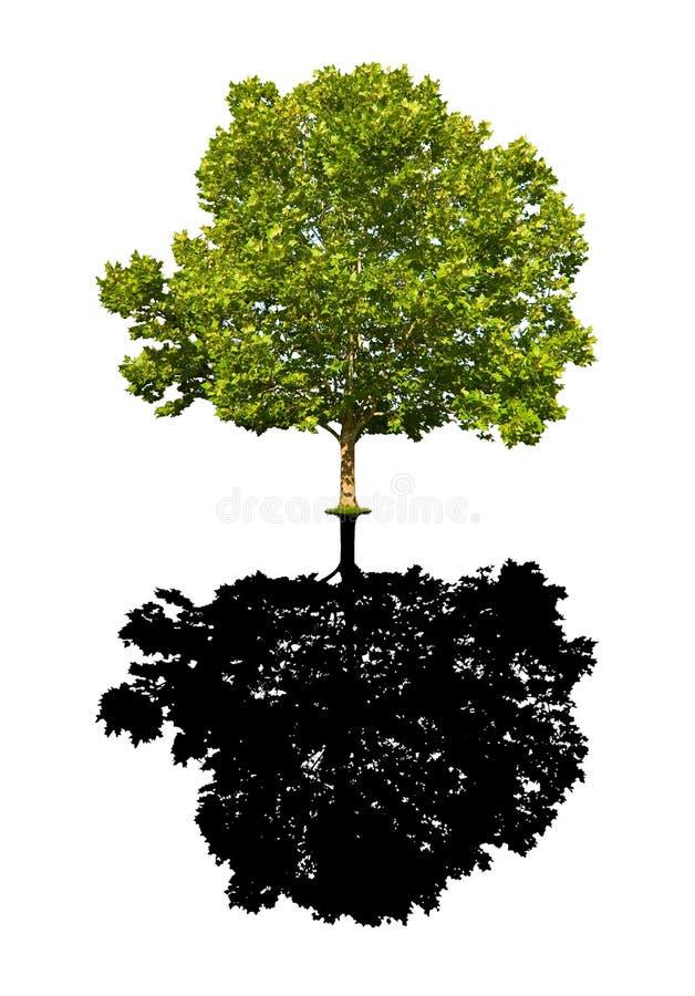 Ahornholzbaum getrennt lizenzfreie stockbilder
