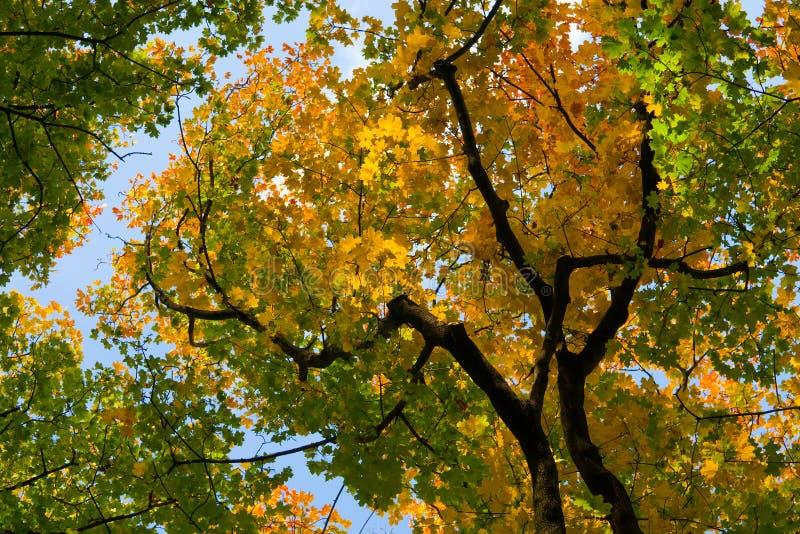 Ahornholzbaum-Herbstblätter stockfotografie