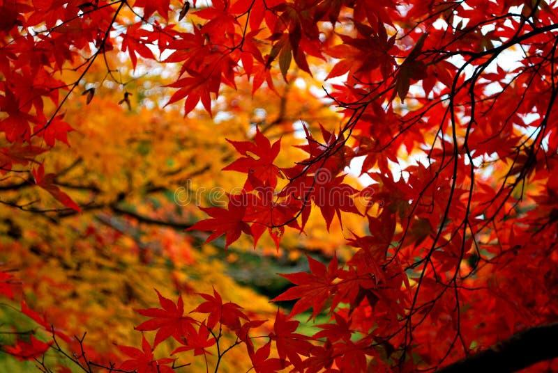 Ahornholzbaum im Herbst lizenzfreie stockbilder