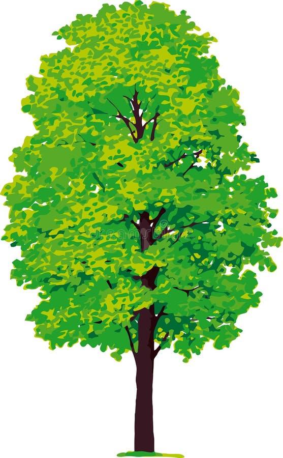 Ahornholzbaum. Vektor lizenzfreie abbildung