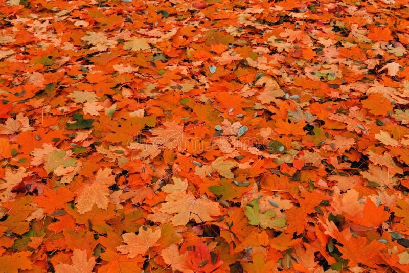 Ahornnatur färbt Herbsthintergrund stockfotografie