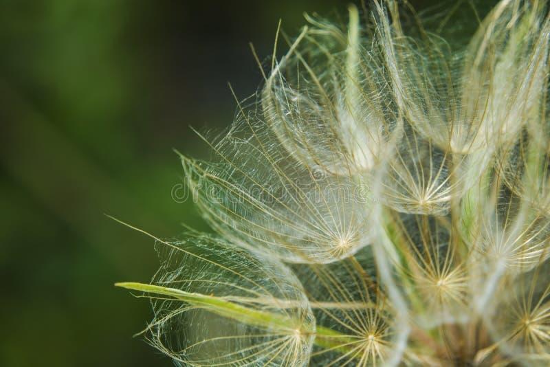 Ahueque abajo de prado del salsifí en un fondo verde imagen de archivo