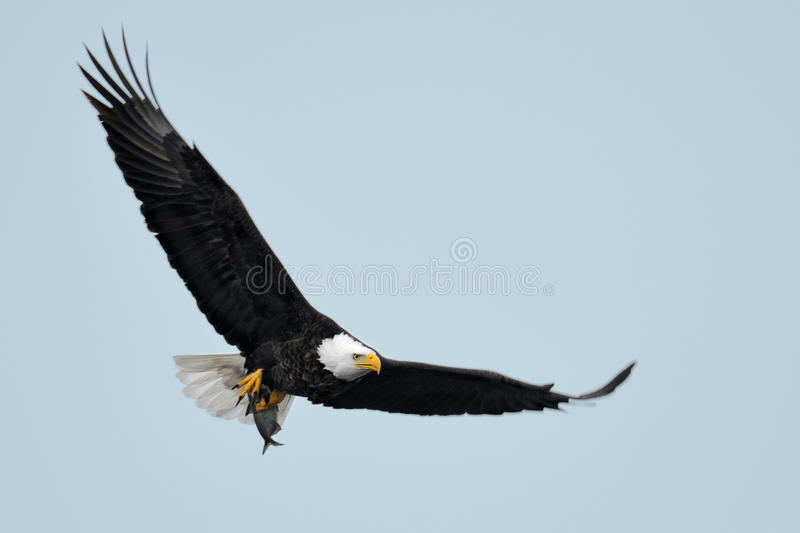 Aigle américain en vol image stock