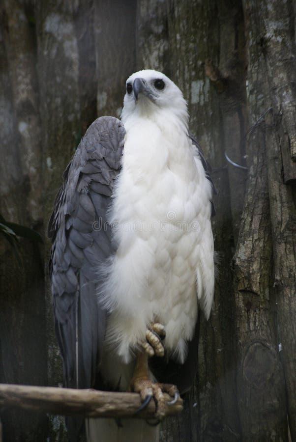 Aigle blanc de coffre photo libre de droits