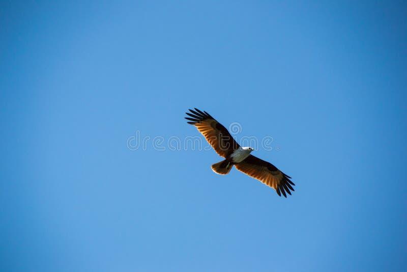 Aigle brun majestueux montant en ciel bleu photos stock