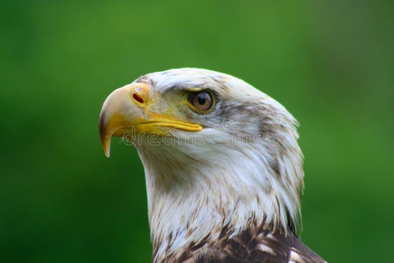 Aigle chauve 10 photographie stock libre de droits