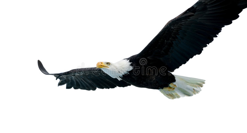 Aigle chauve (22 ans) photos stock
