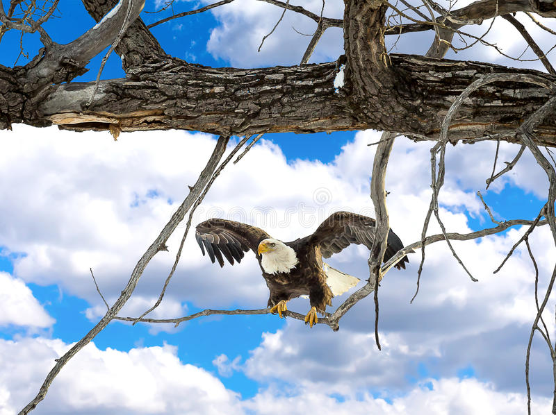 Download Aigle chauve photo stock. Image du animal, arbre, symbole - 45363204