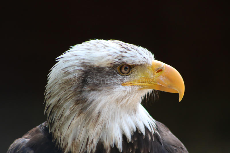 Aigle chauve photo stock