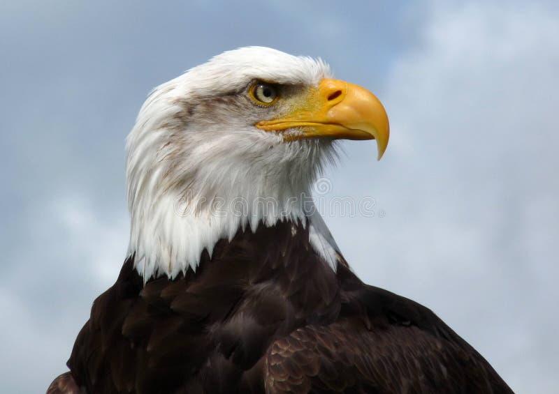 Aigle chauve américain. image libre de droits