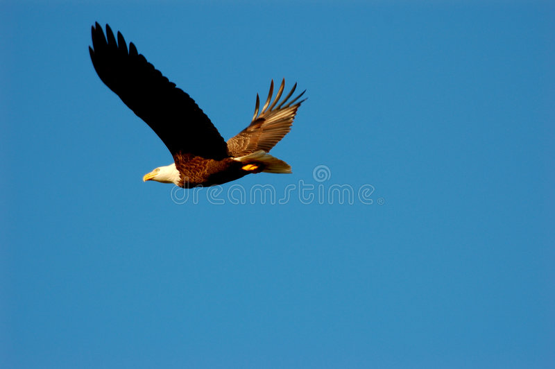 Aigle chauve américain en vol