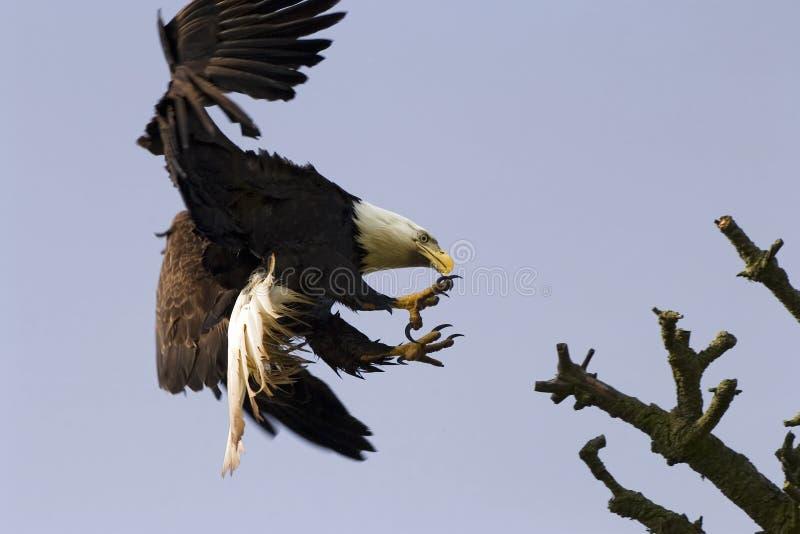 Aigle chauve avec des serres image libre de droits