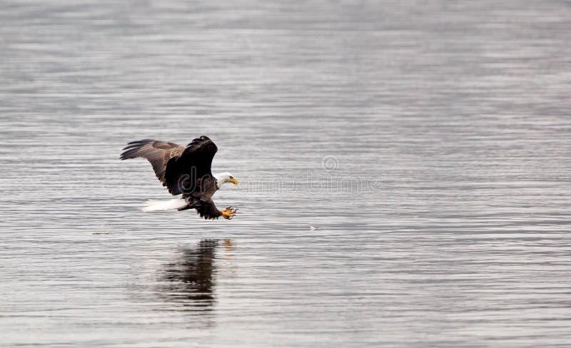Aigle chauve avec des serres  photo stock