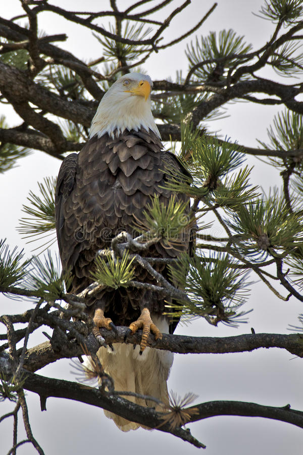 Aigle chauve dans l'arbre de pin photos libres de droits