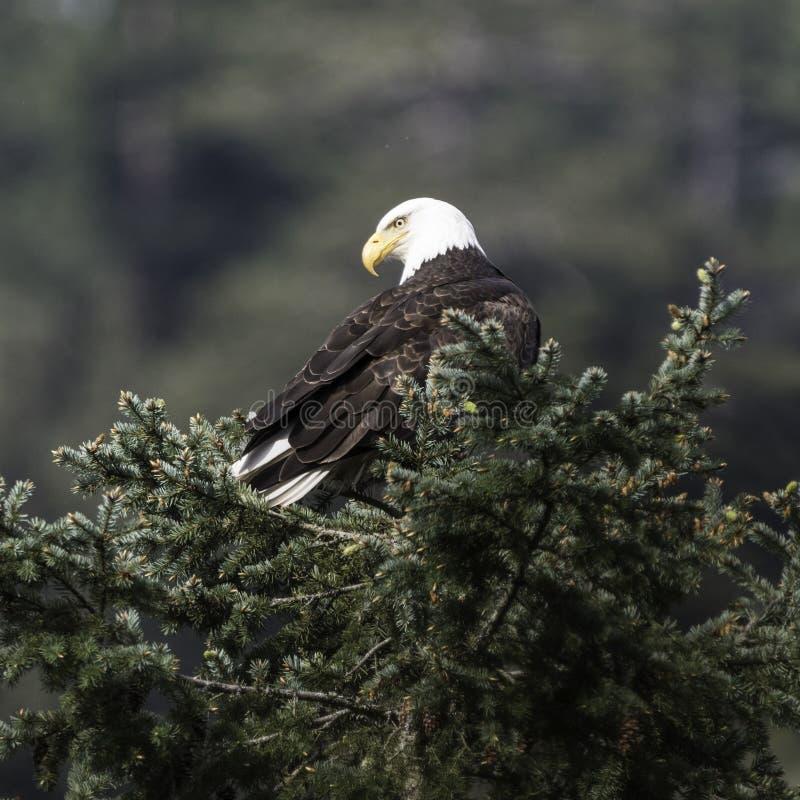 Aigle chauve dans un arbre image stock