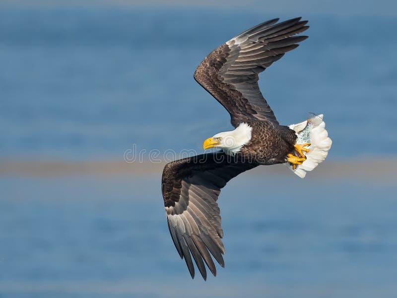 Aigle chauve en vol photos libres de droits
