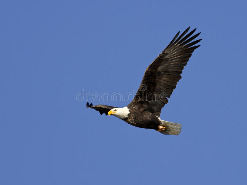 Aigle chauve en vol. photographie stock