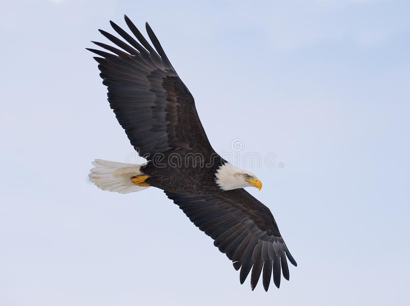 Aigle chauve en vol photo stock