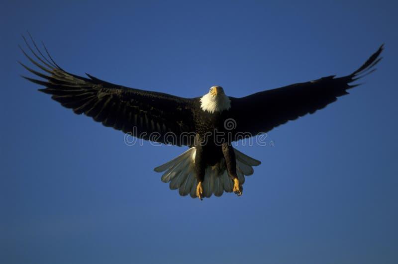 Aigle chauve en vol images libres de droits