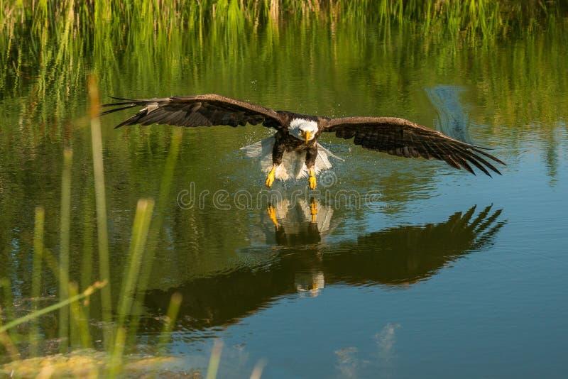 Aigle chauve en vol photographie stock