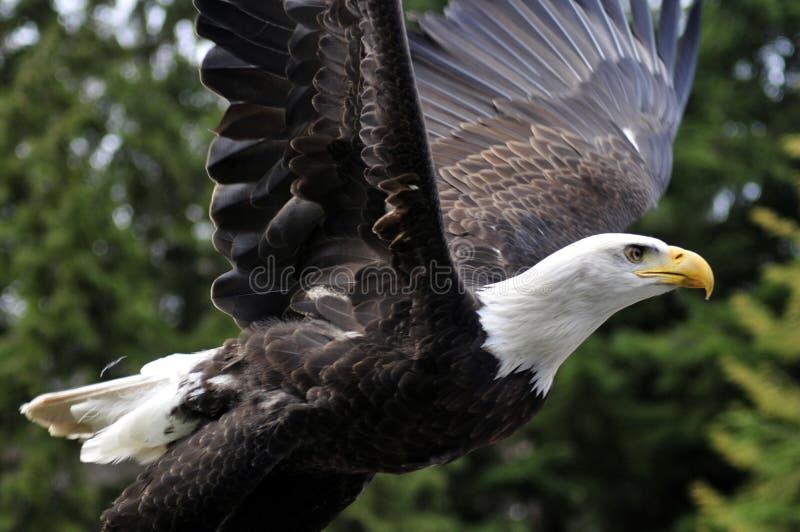 Aigle chauve en vol photos stock