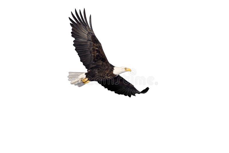Aigle chauve en vol d'isolement sur le blanc images libres de droits