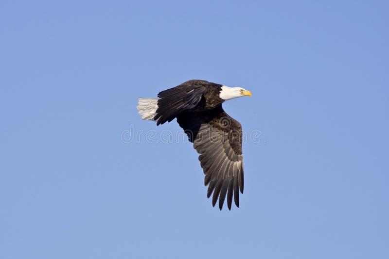 Aigle chauve en vol d'isolement sur le ciel bleu images stock